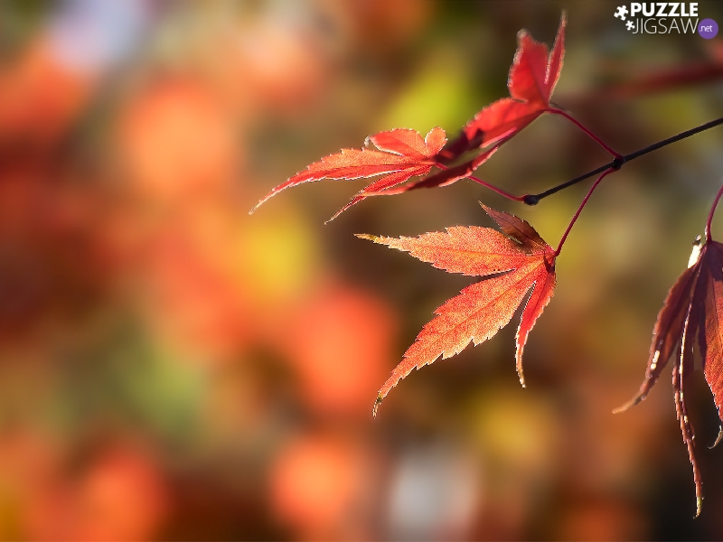 fuzzy, background, Leaf, maple, Autumn