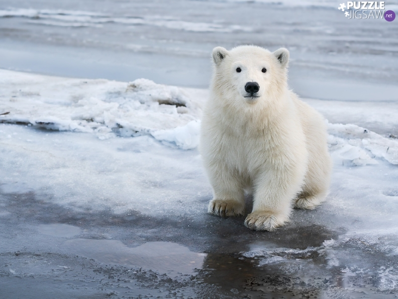 small, polar, snow, Bear