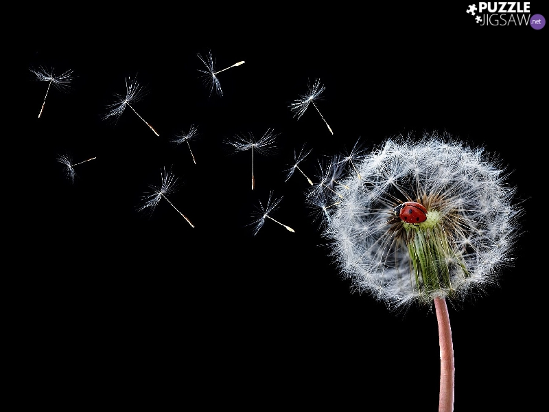 Black, ladybird, dandelion, background, Common Dandelion