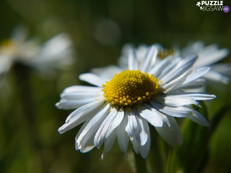 Colourfull Flowers, White, daisy, Field