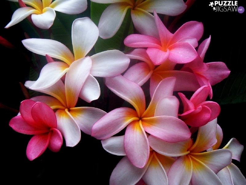 Colourfull Flowers, Plumeria