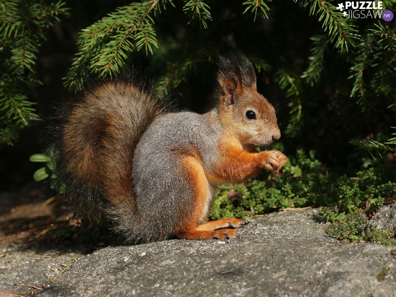 Stone, conifer, squirrel