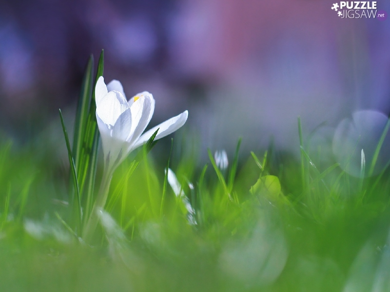 White, crocus, illuminated