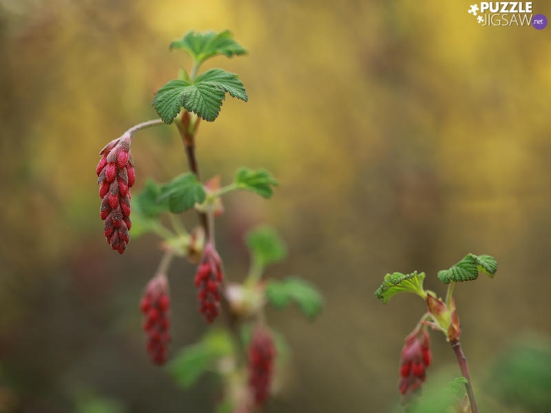 Bloody Currant, Buds, Bush, Flowers