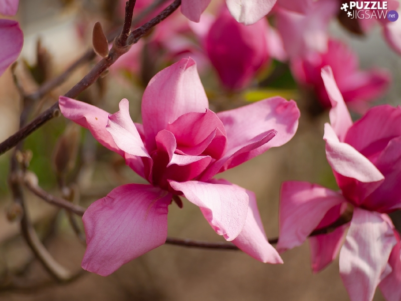 Pink, Magnolias, Twigs, developed
