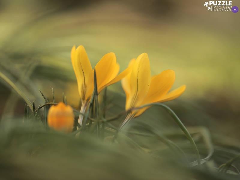 Yellow, Flowers, blurry background, crocuses