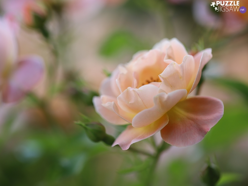 Colourfull Flowers, Light pink, rose