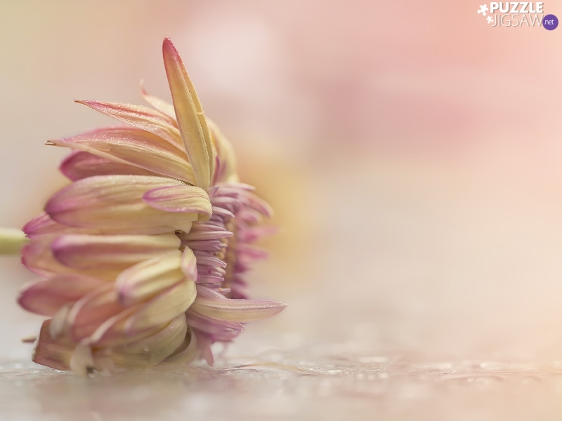 Colourfull Flowers, Pink, background, Dalia