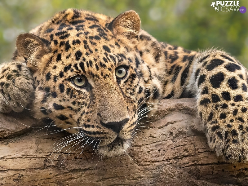 log, Resting, Leopards