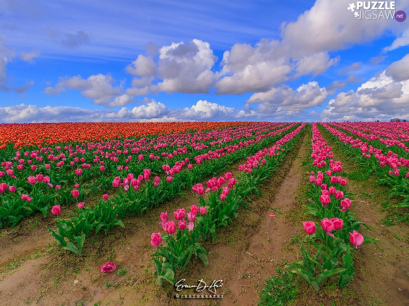 plantation, Tulips, clouds, Pink