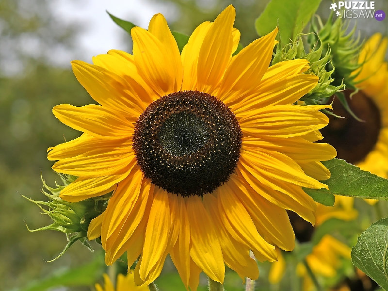 rapprochement, illuminated, Sunflower