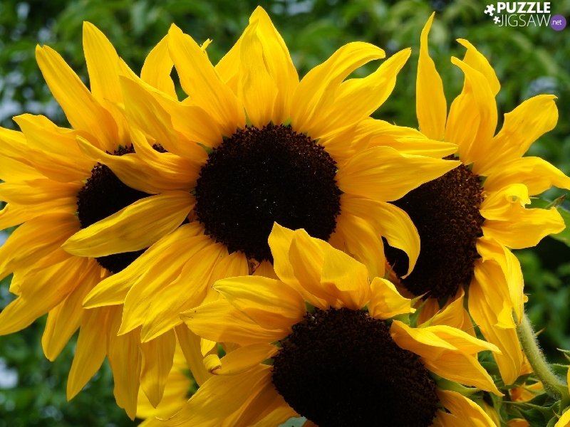 Nice sunflowers, Bloom