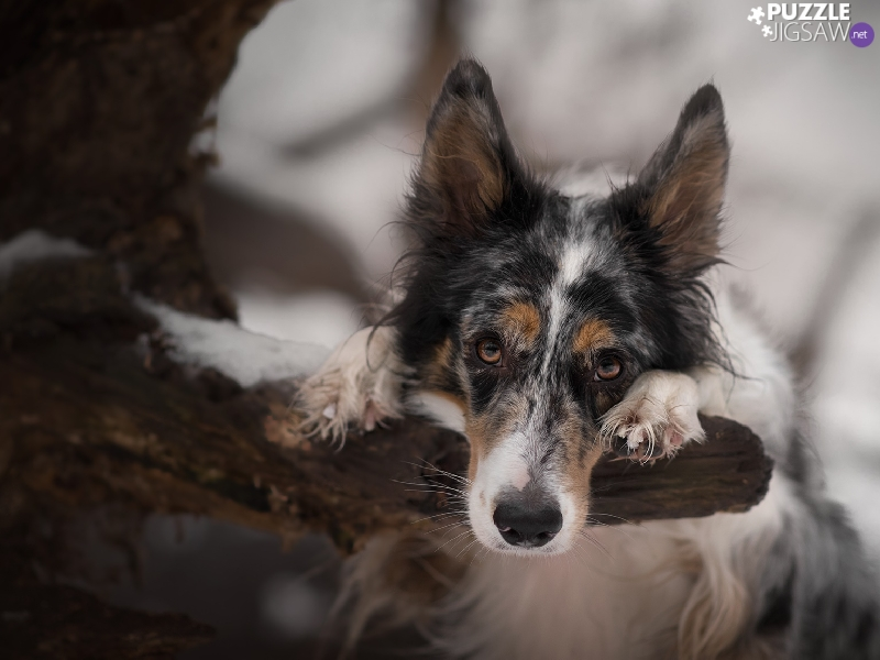 branch, Border Collie, trees