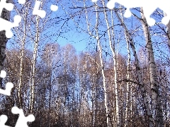birch, Sky, trees, viewes, forest