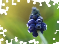 Colourfull Flowers, Muscari, blue