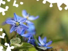 Blue, Flowers, Siberian squill