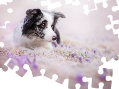 Border Collie, Flowers, dog