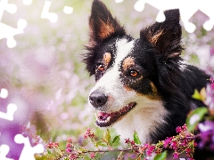 Flowers, pinto, Border Collie