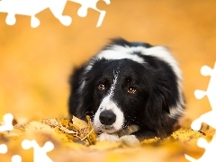 Border Collie, Leaf, lying