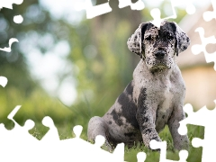 Patches, grass, Puppy, Catahoula Leopard Dog, dog