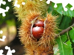 edible, chestnuts