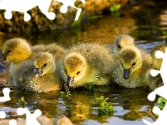 chick, geese