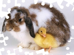 Ducky, Rabbit