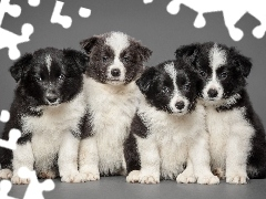 Border Collie, Puppies