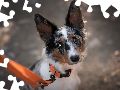 Orange, Leash, Border Collie, muzzle, dog