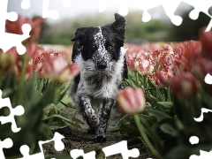 Tulips, dog, Border Collie