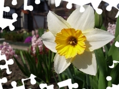 Colourfull Flowers, narcissus