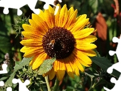 summer, Sunflower, Colourfull Flowers