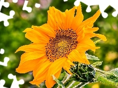 Sunflower, Colourfull Flowers