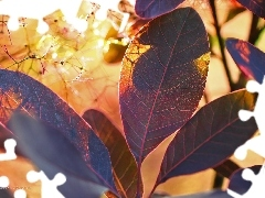 Leaf, Bush, Cotinus Coggygria