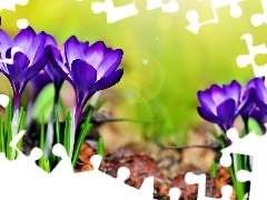 purple, crocuses, Flowers
