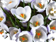 White, crocuses