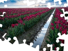 Red, Field, cultivation, Tulips