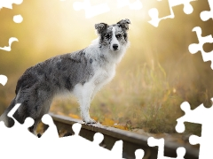 ##, Border Collie, dog