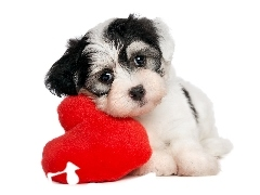 Heart, Puppy, Havanese