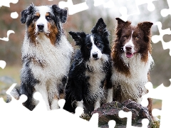Border Collie, Stones, Dogs, Australian Shepherd, Three