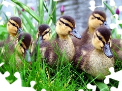 ducklings, small, grass, flock
