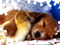 small, Ducky, dog