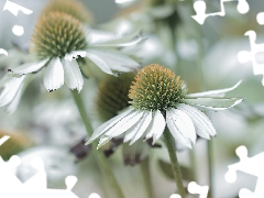 White, rapprochement, Flowers, echinacea