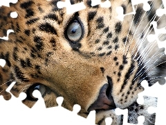 Leopards, Eyes