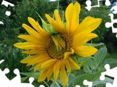 Yellow, flakes, Sunflower