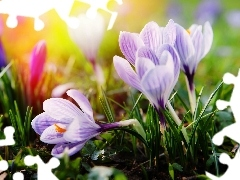 ligh, Spring, flash, luminosity, sun, crocuses