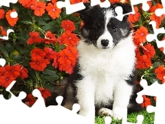 Flowers, Red, doggy, Border Collie