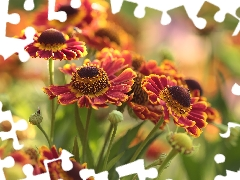 Colorful Background, Helenium, Flowers