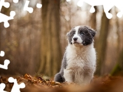 background, forest, Collie, dog, fuzzy, Puppy, Border