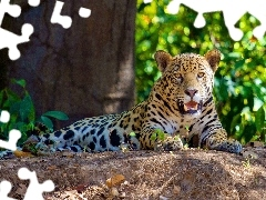 forest, lying, Jaguar